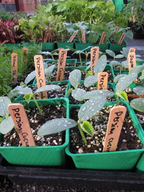Persian cucumber plants