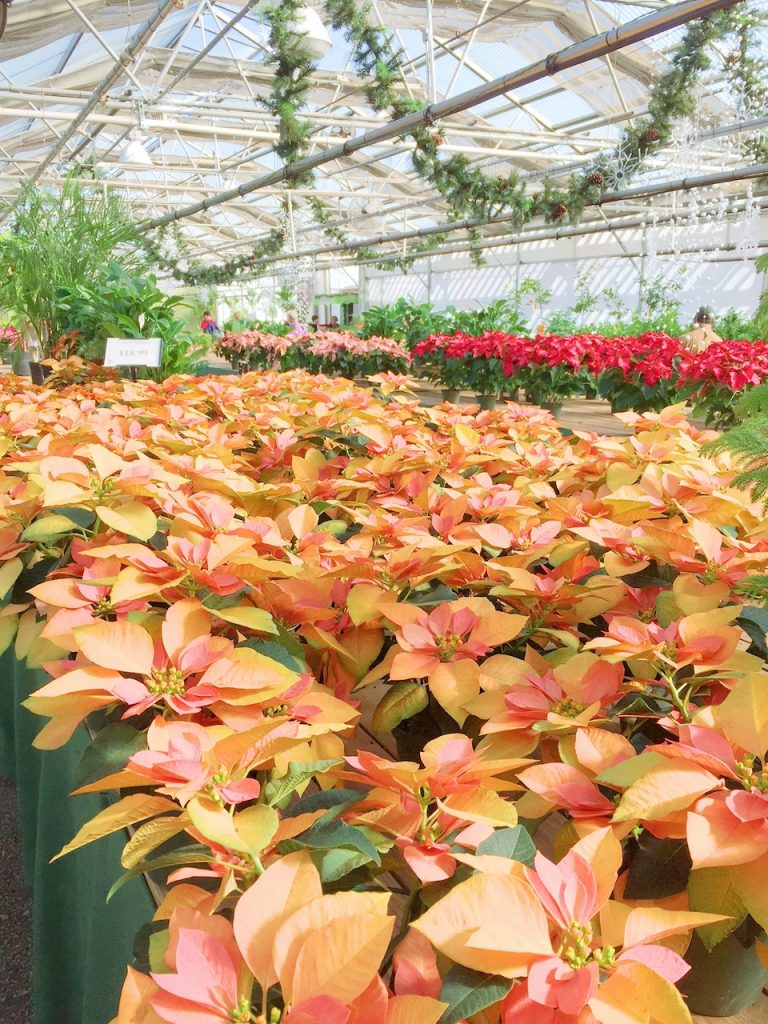 poinsettias at garden center